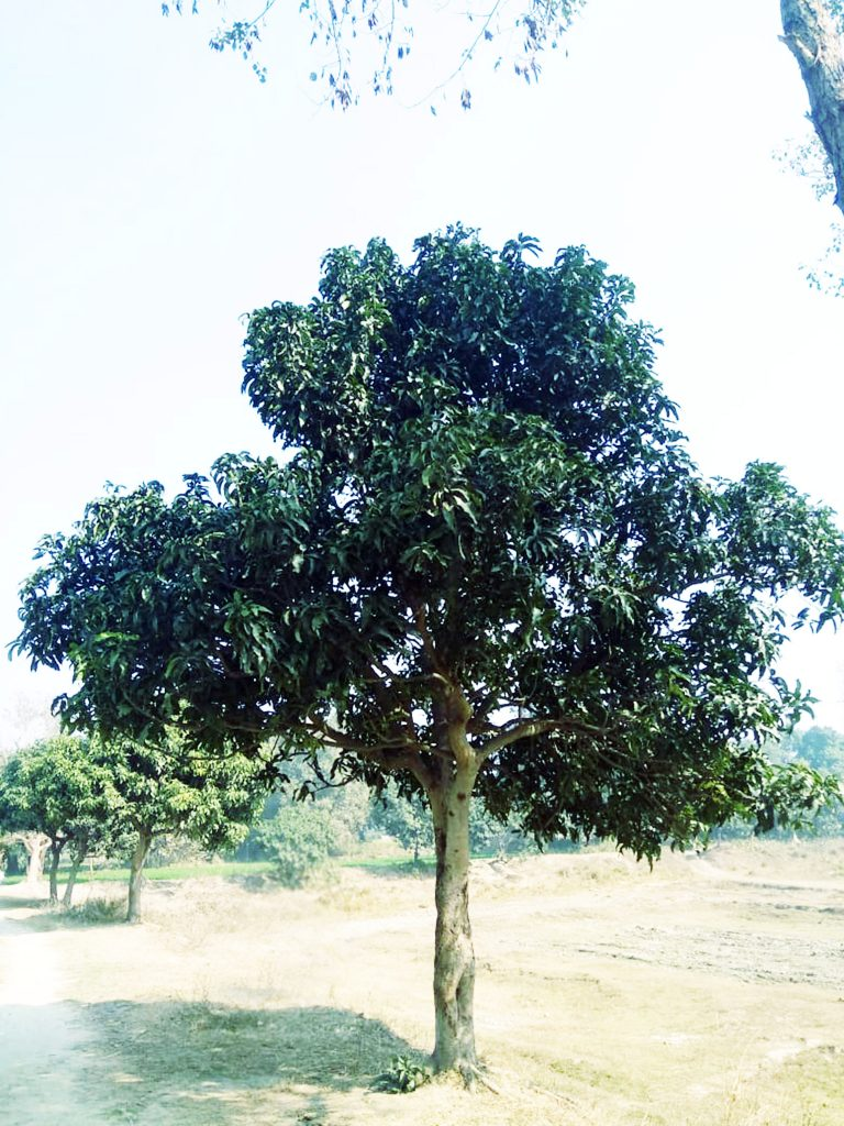 Mango fruit tree in rural area - Free photo - Graphics Pic